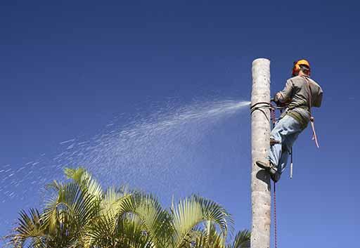 San Fernando Valley palm tree removal