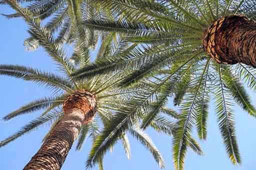 San Fernando Valley palm tree skinning