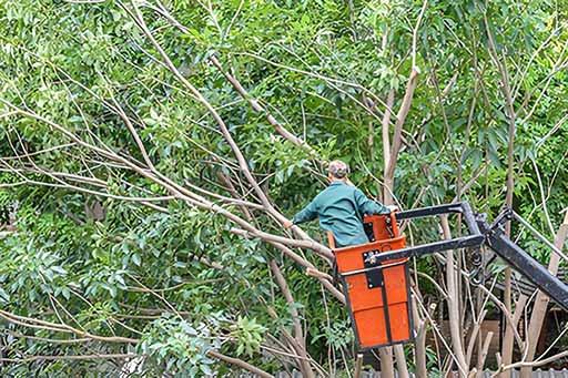 San Fernando Valley tree pruning
